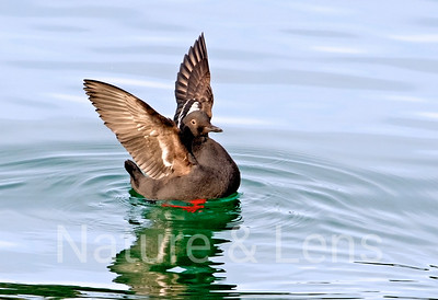 Waterfowl, Pigeon Guillemot