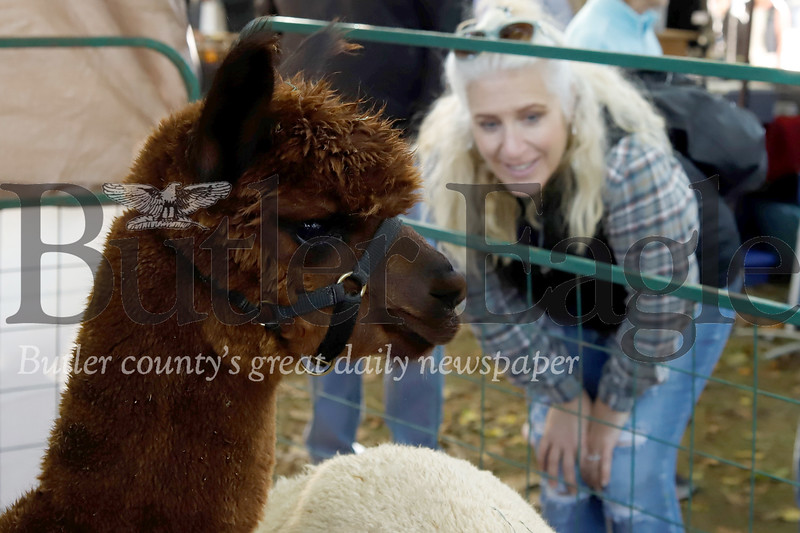 Baldor the alpaca from Asgard Acres Alpaca Farm checks out guests at Zelienople Fall Festival Saturday. Seb Foltz/Butler Eagle 2019