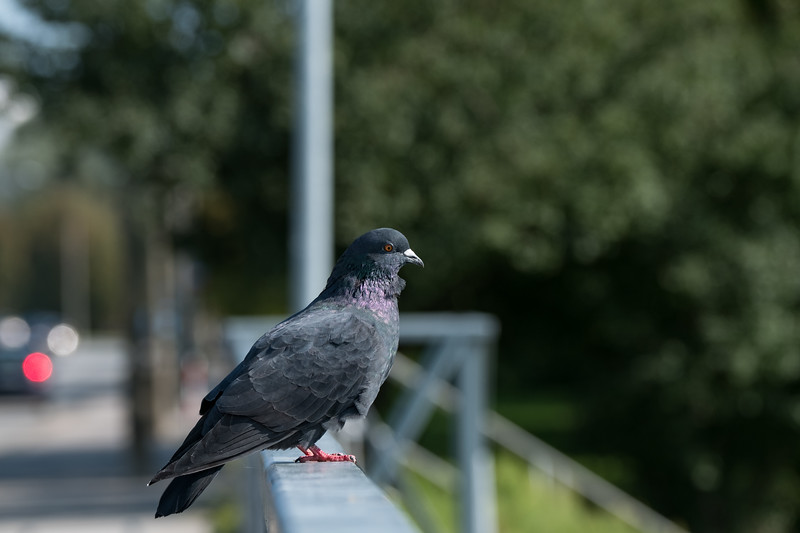 gołąb miejski | feral pigeon | columba livia forma urbana