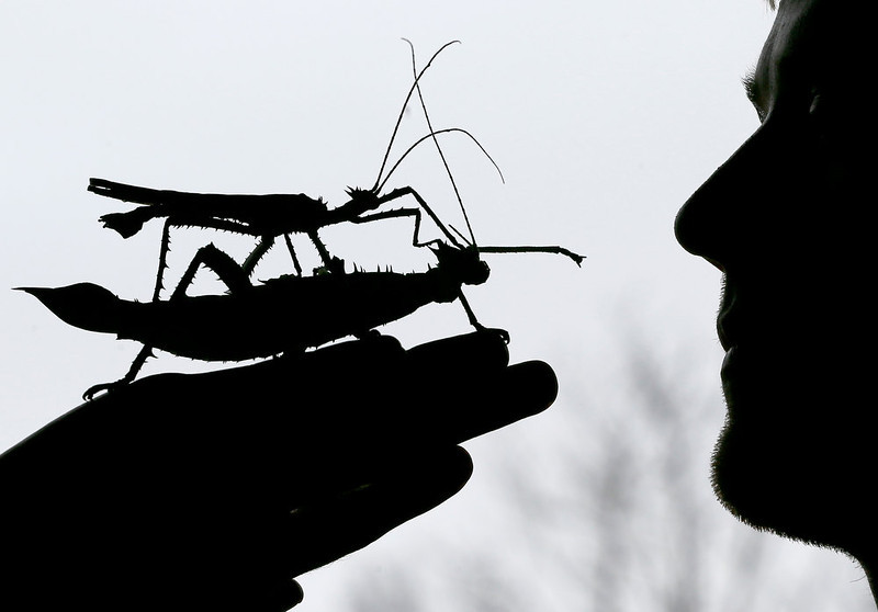 . A male jungle nymph sits on a female jungle nymph during a photo call for the annual stock take at London Zoo, Thursday, Jan. 3, 2013. More than 17,500 animals including birds, fish, mammals, reptiles and amphibians are counted in the annual stock take at the zoo. (AP Photo/Kirsty Wigglesworth)