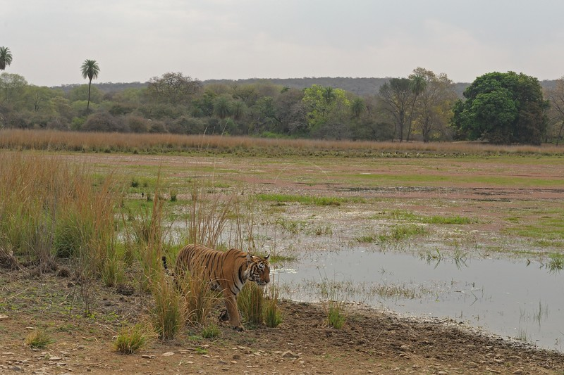 Tiger walking along the shore of a lake in Ranthambhore national park in north India