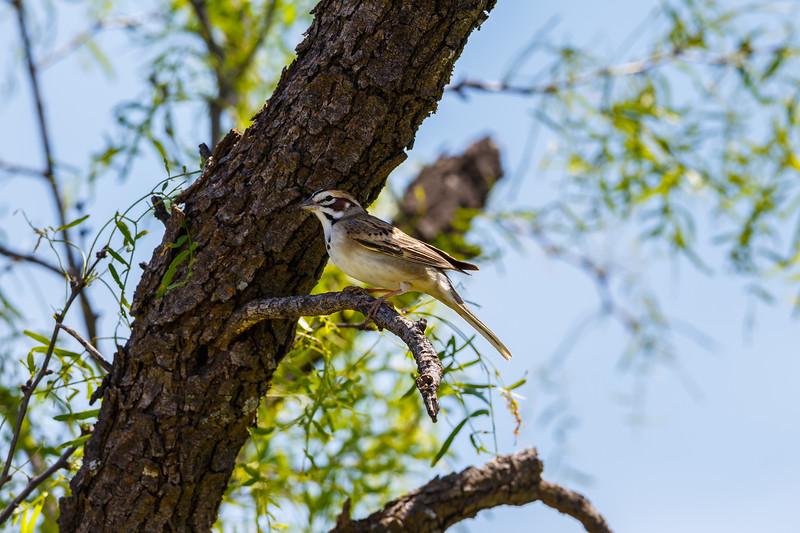Lark Sparrow, San Angelo State Park (Texas)