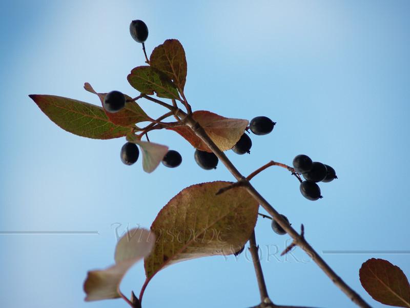 Common Chokecherry in Autumn (Prunus virginiana)