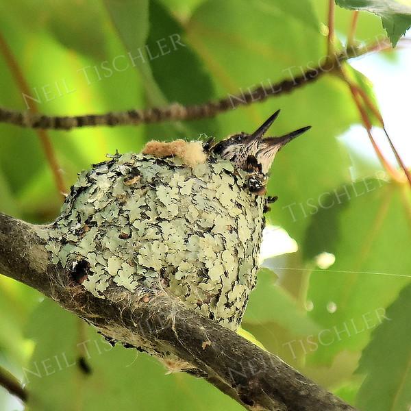 1414  Ruby Throated Hummingbird nestlings