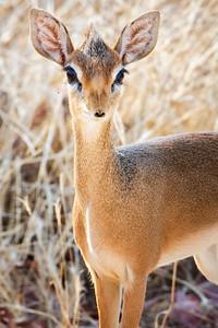 Antelope: Duikers, Dwarf Antelope, DikDiks & Reed/Waterbuck