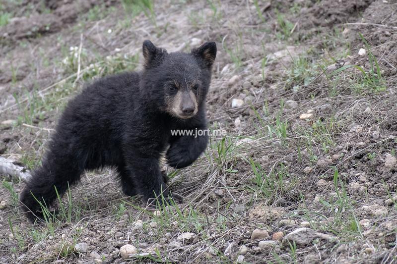 Black bear cub on a walk