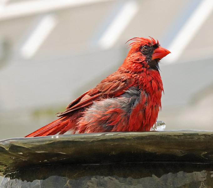 Cardinal in fountain 3