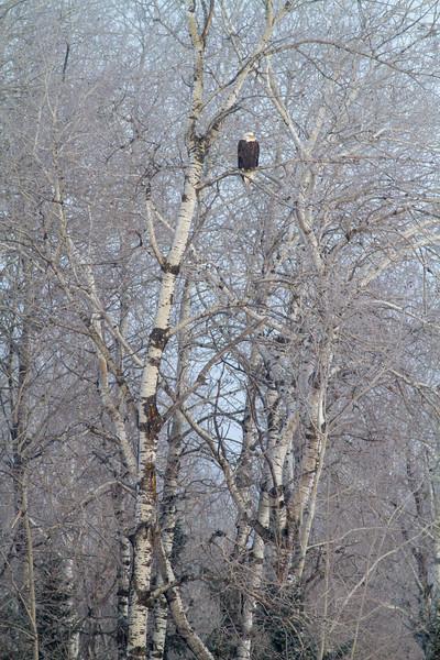 Bald Eagle CR83 Sax-Zim Bog MN IMG_3628.jpg