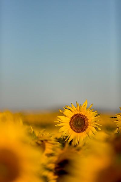 Mike Maney_Sunflowers-148.jpg
