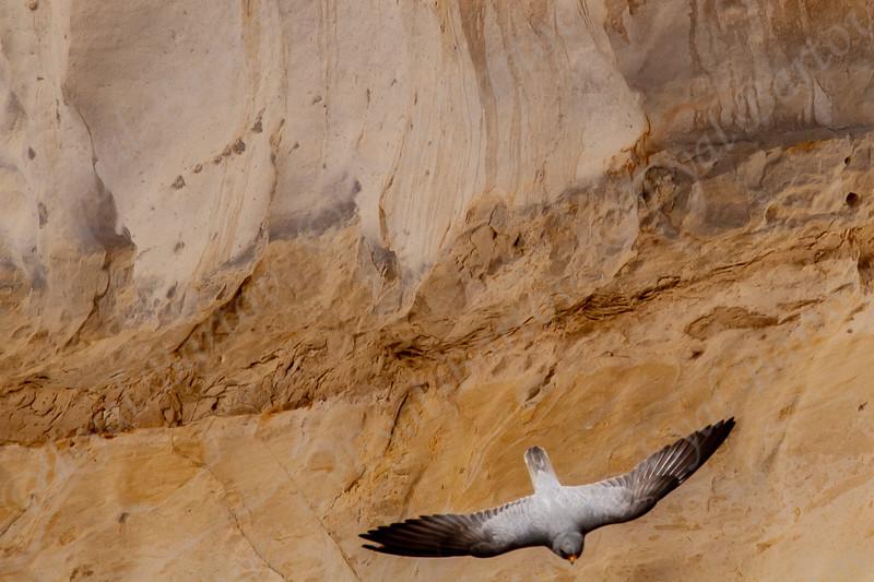 4 .Sooty Falcon (Falco concolor) - בז שחור