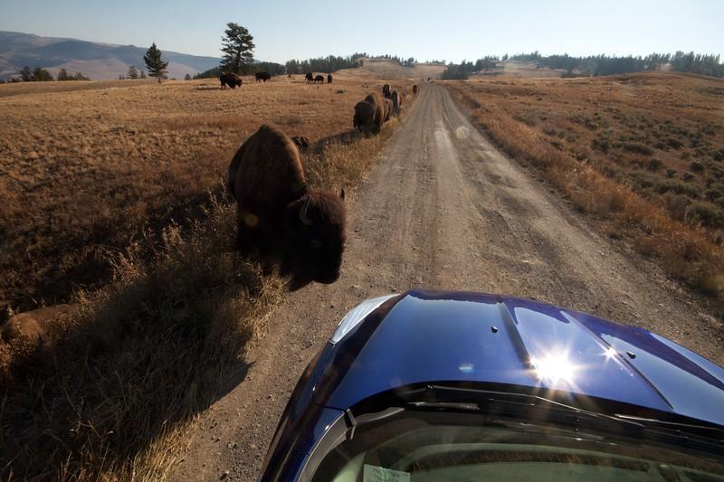 Bison Yellowstone N.P. WY IMG_0068845.jpg