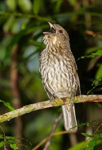 Tooth-billed Bowerbird (Scenopoeetes dentirostris)