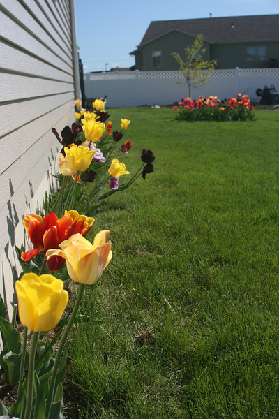 Tulips 2011 017.JPG