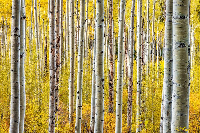 Rousing Aspens, Colorado