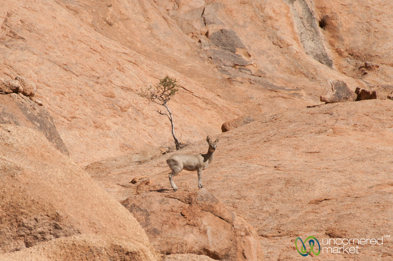 Klipspringer at Spitzkoppe - Namibia