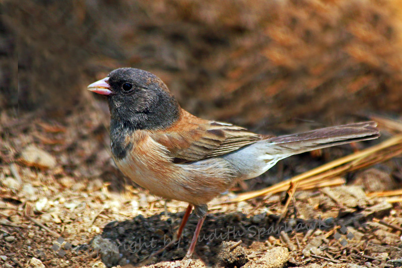 Junco Foraging ~This view of the junco shows where it was scratching up the ground near the nest, picking up and holding seeds in its beak.  It has a fairly full beak at the moment, and is about to go to the nest for feeding the young.