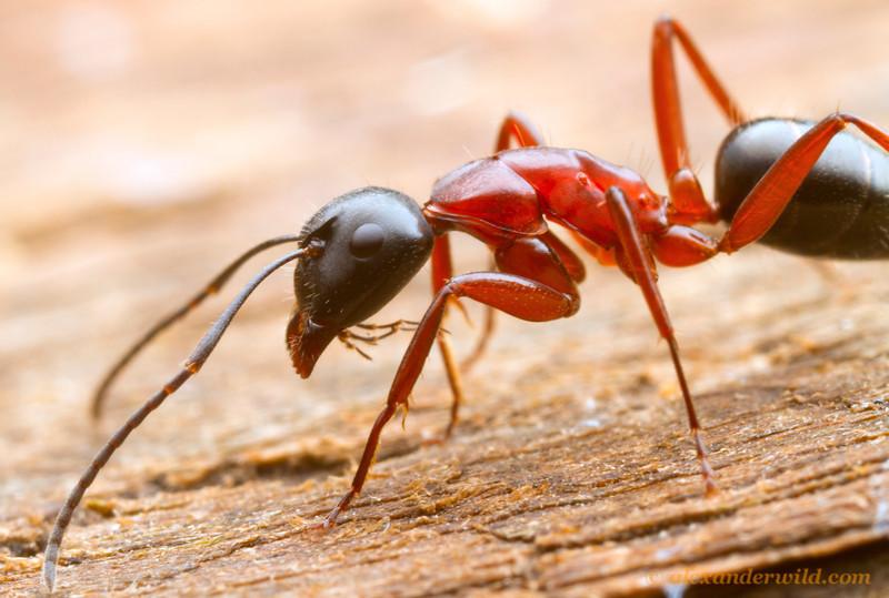Camponotus sp. worker, foraging.  Diamond Creek, Victoria, Australia