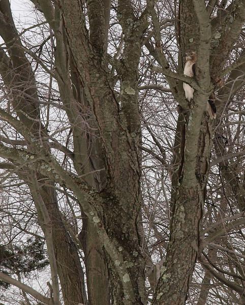 hawk tree.jpg