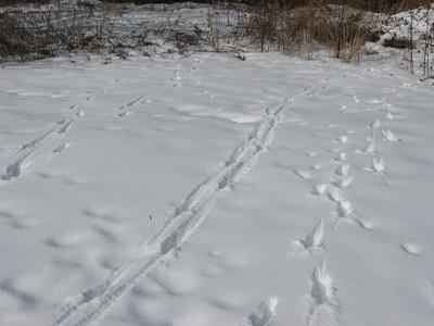 20100218 KRCA Mammal Tracks