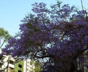 2011-05-03-Jacaranda-MMLA