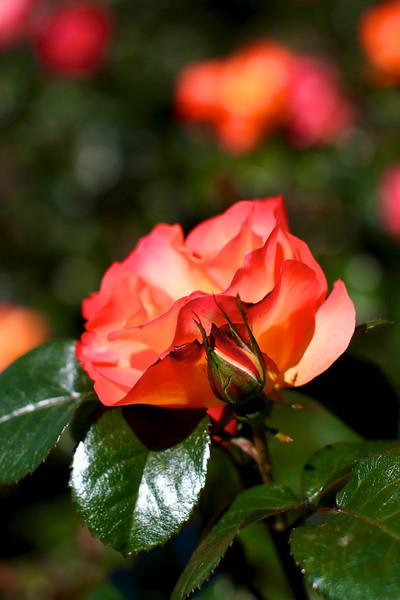 Portland International Rose Test Garden  2208.jpg