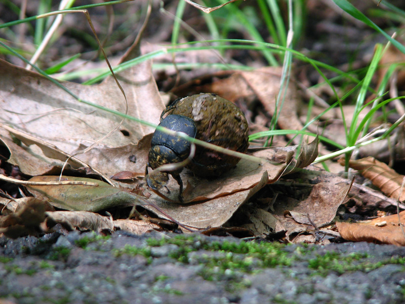 A dung beetle! First time I ever saw one in the wild. It was rolling a ball of...well, dung, across the path.