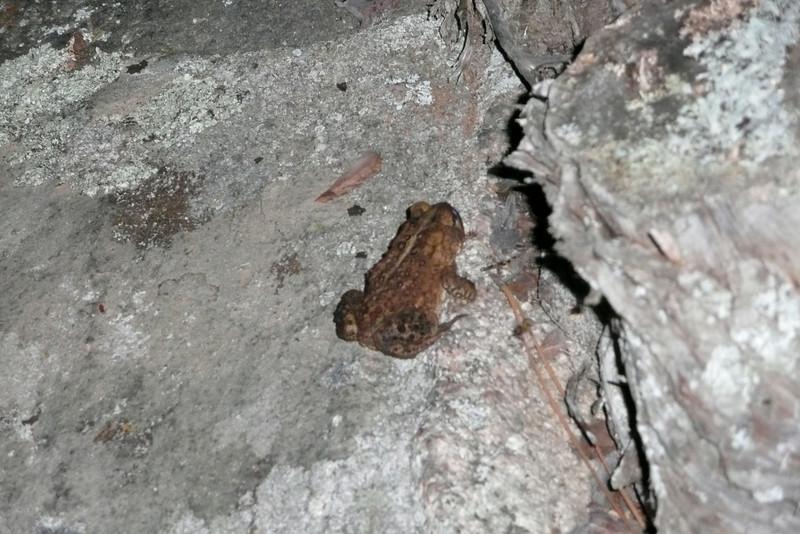 Toad Invasion. Campsite 15-82, lac Jean-Peré, La Vérendrye Wildlife Reserve