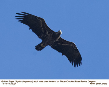Golden Eagle M 22024.jpg