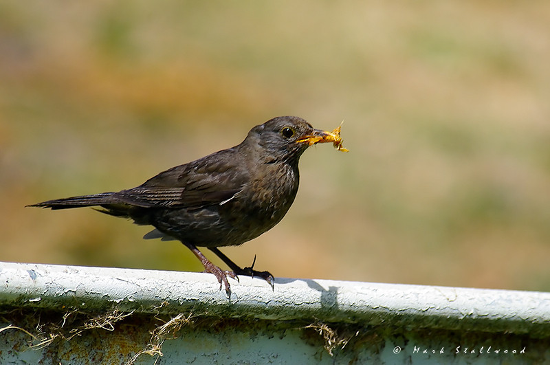 Common Blackbird.jpg