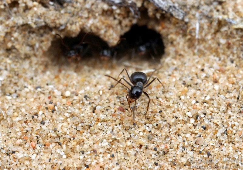 Myrmecocystus tenuinodis, a small honeypot species that lives in sand dunes and is active in the mornings.  Mojave National Preserve, California, USA