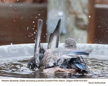 Western Bluebirds J91403.jpg