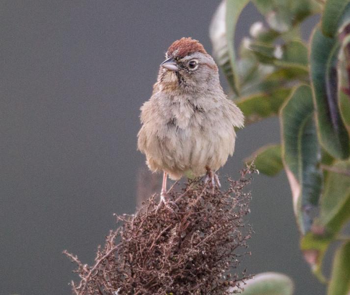 Rufous-crowned Sparrow Palomar Mt. 2015 04 04-1.CR2