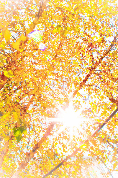 ckuster birch sun burst wwmark.jpg