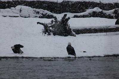 2012-Alaska-Eagles