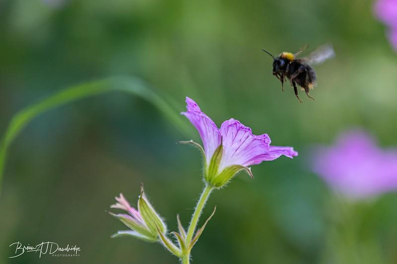 Garden Bees-3635.jpg