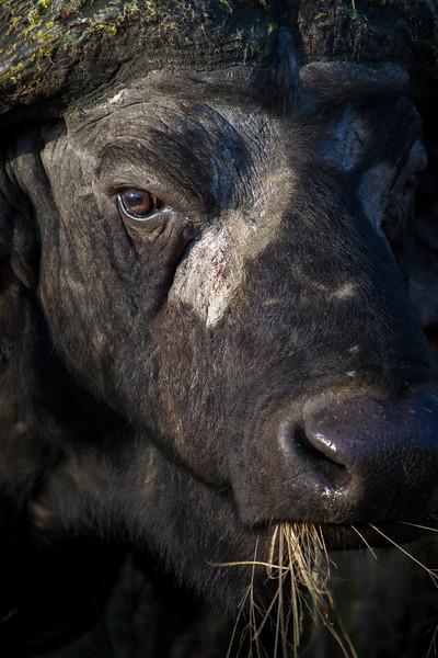 buffalo2-1.jpg
