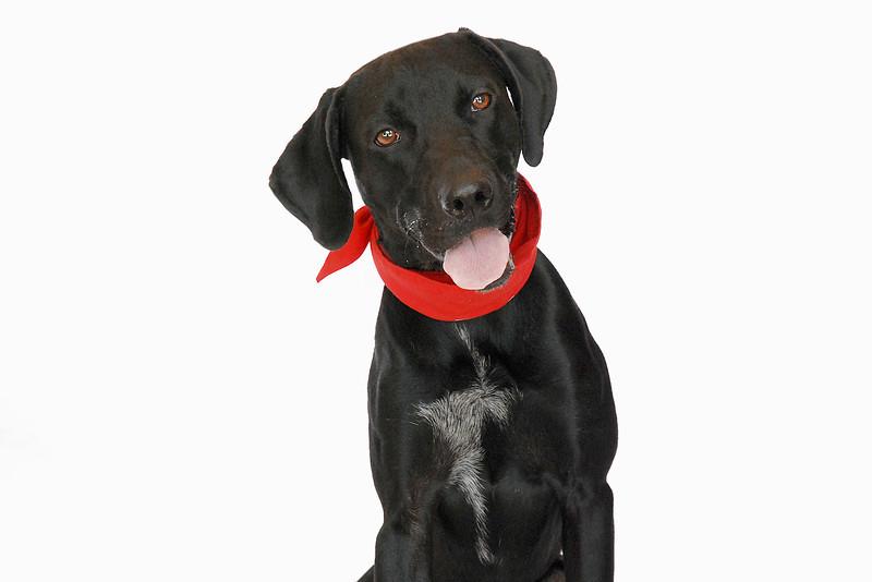 Fencer - A267864 - 9 month old male Labrador Retriever/mix - black & white