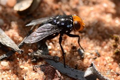 Rutilia (Tachinidae)