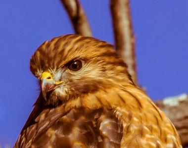 Lincoln Hawks