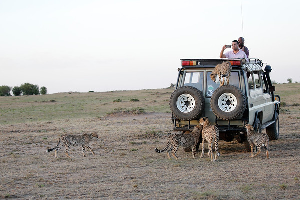 Cheetah with Vehicle Mara Kenya 2015