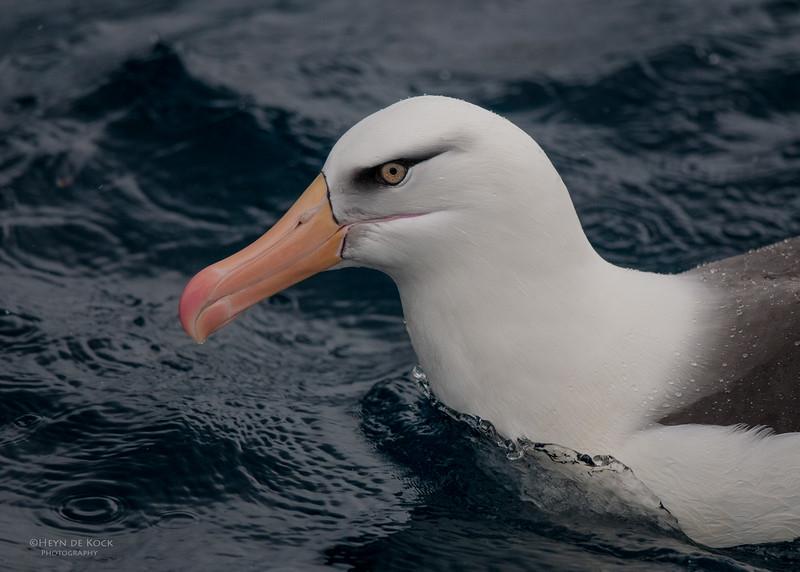 Campbell Albatross, Wollongong Pelagic, NSW, Oct 2009-2.jpg