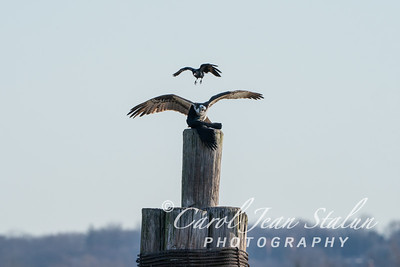 Osprey Crow