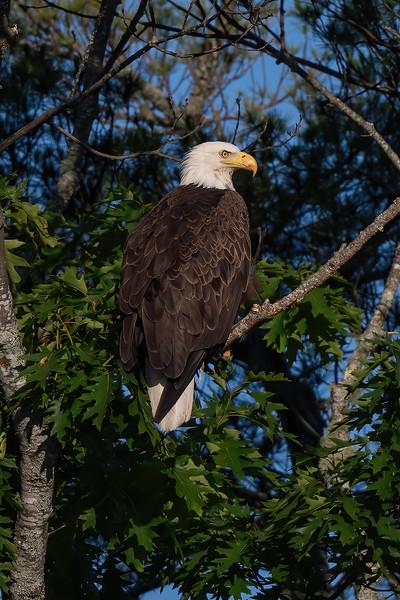 #1436 Bald Eagle