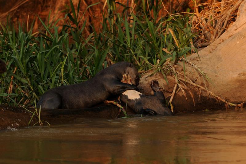 010_6243 Giant Otter, Pteronura brasiliensis
