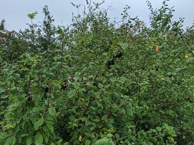 Damsons (Prunus domestica subsp. insititia)