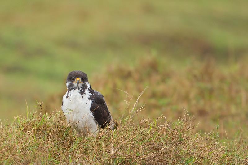 Augur Buzzard in rain - Ngorongoro Crater, Tanzania