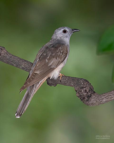 Brush Cuckoo, Townsville, QLD, Jan 2020-4.jpg
