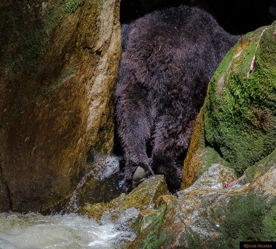 The backside of a bear who has eaten far too many fish!