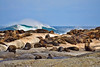 Large group of seals on a rocky island with wave crashing in the background. Photography fine art photo prints print photos photograph photographs image images artwork.