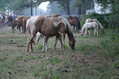 Chincoteague Horses 2005
